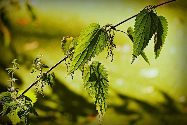 Die Brennessel ist eine Wildpflanze, die im Herbst essbare Samen trägt.