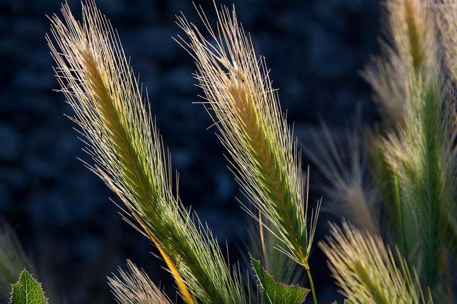 Gerstenmehl liefert besonders viele Kohlenhydrate, aber wenig Fett.