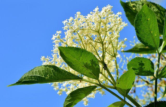 Holunderblüten kannst du normalerweise zwischen Ende Mai bis Juli sammeln und dann verarbeiten.