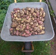 Kartoffeln in verschiedenen Formen und Farben.
