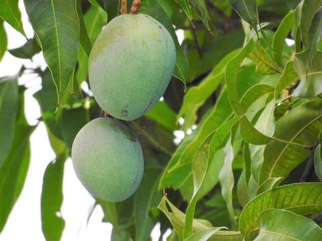 Mangos an einem Mangobaum