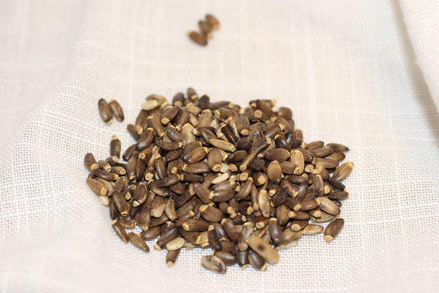 Für Mariendistel-Tee werden die unscheinbaren Früchte der Pflanze verwendet.
