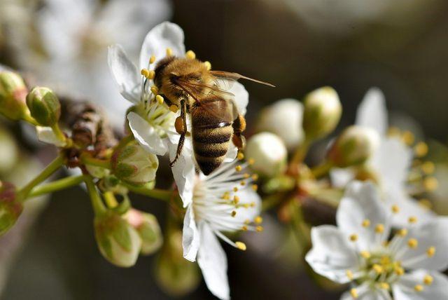 Um das Überleben von Bienen zu sichern, braucht es vor allem blühende, bienenfreundliche Pflanzen.