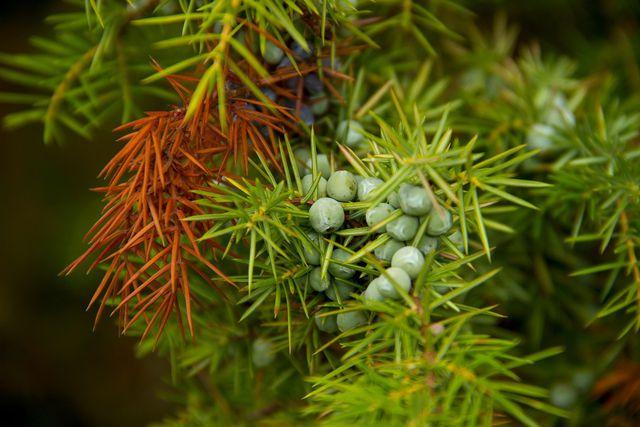 Die Wacholderbeere kannst du nur von befruchteten Pflanzen ernten.