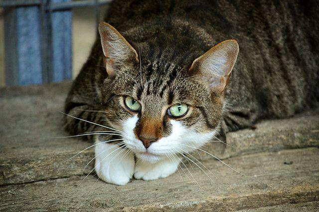 Bei Katzen solltest du Schwarzkümmelöl nicht verwenden, da es unter anderem schwere Leber- und Nierenschäden auslösen kann.