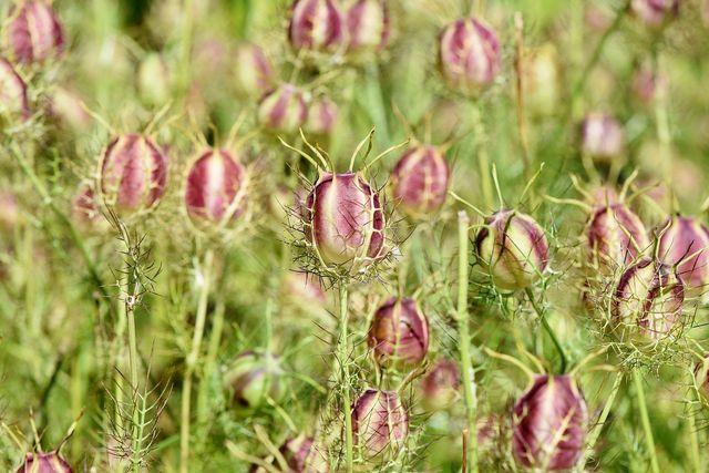 Die Jungfer im Grünen sieht auch mit geschlossenen Blütenständen hübsch aus.