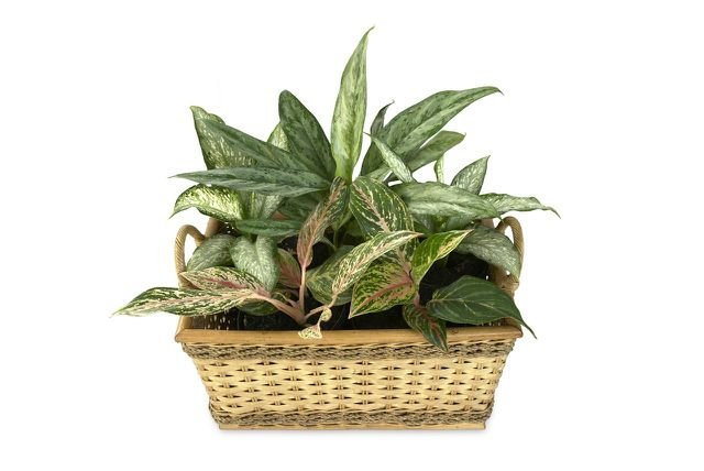 Ideale Büropflanze: Die Dieffenbachie reinigt die Luft im Büro.