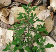 Weißer Gänsefuß ist eine wichtige Futterpflanze für Insekten, Vögel und Schmetterlinge.