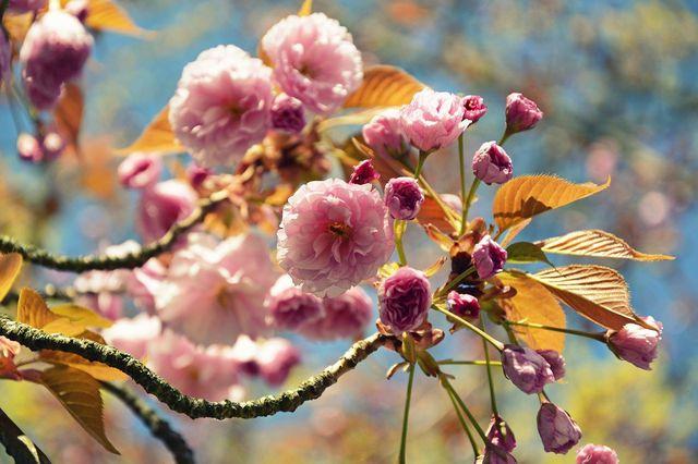 Um möglichst viele Blüten zu bekommen, kannst du die Japanische Nelkenkirsche mit organischem Dünger düngen.