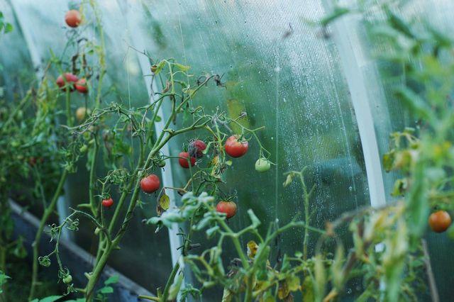 Tomaten wachsen in Deutschland entweder draußen oder im Gewächshaus - aber nur von Juni bis Oktober.