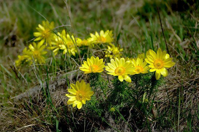 Adonisröschen kannst du in Form von Jungpflanzen leicht im eigenen Garten pflanzen.