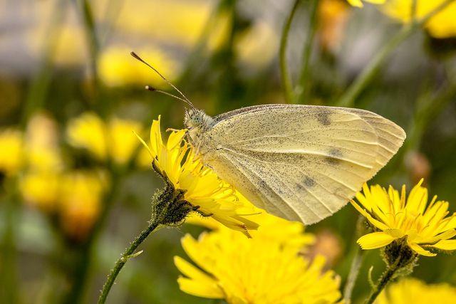 Habichtskraut ist bei Schmetterlingen beliebt.