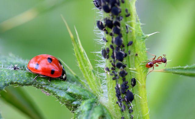 Die Insekten, die in deinen gepflanzten Hecken leben, bekämpfen auf natürliche Weise Schädlinge.