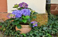 Hortensien begeistern in vielen Farben.