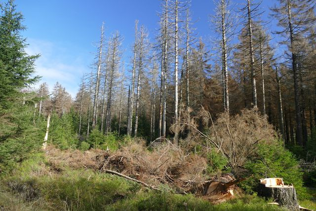 Der anthropogene Klimawandel verursacht unter anderem ein Waldsterben.
