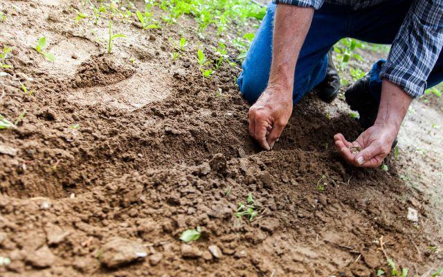 planting kohlrabi