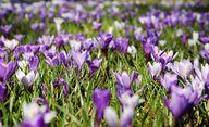 Krokusse gehören zu den beliebtesten Zwiebelpflanzen, die früh blühen