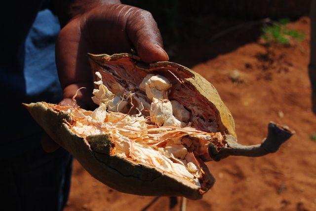 Helles schwammartiges Fruchtfleisch der Baobab-Frucht.
