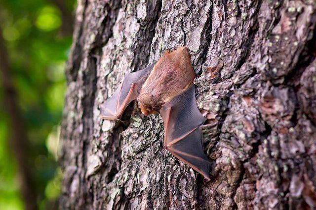 Eine Fledermaus im Haus ist keine Seltenheit, auch wenn die Tiere in der Regel lieber in Höhlen und Bäumen leben.