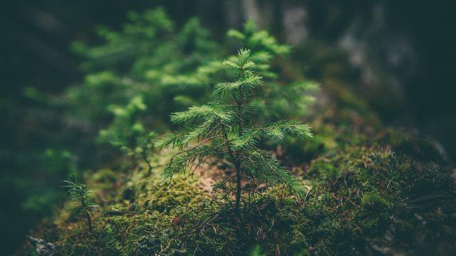 Wer Setzlinge zur Aufforstung pflanzt, der sollte sich überlegen, ob die Umgebung stimmt und die Baumart zum Klima passt.