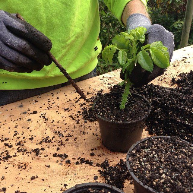 Weidenwasser fördert Jungpflanzen und Stecklinge.