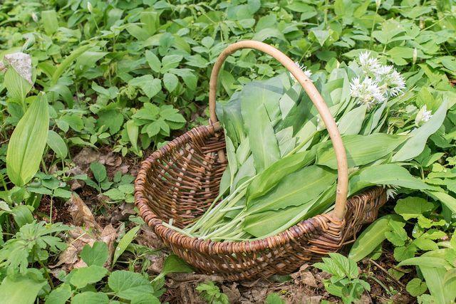 Wenn du das Würzkraut so frisch wie möglich ernten willst, solltest du Bärlauch direkt selbst pflanzen.