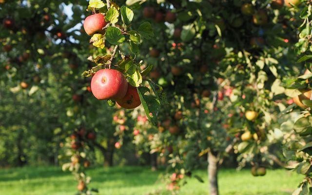 Apfelbaum pflanzen beginnt bei der Auswahl der richtigen Apfelsorte.