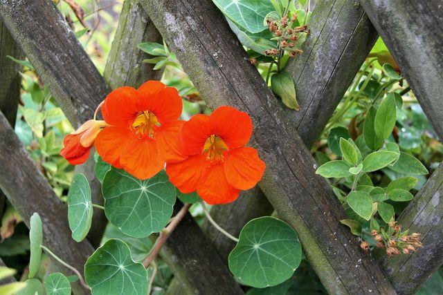 Die Blüten der Kapuzinerkresse sind essbar