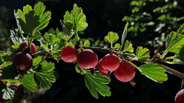 Stachelbeeren haben von Juni bis August Saison.