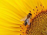 Der Stich einer Biene erfolgt meist im Zuge einer Abwehrreaktion