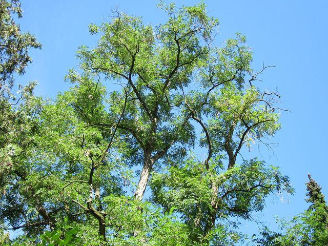 Die Robinie wird bis zu 30 Meter hoch.