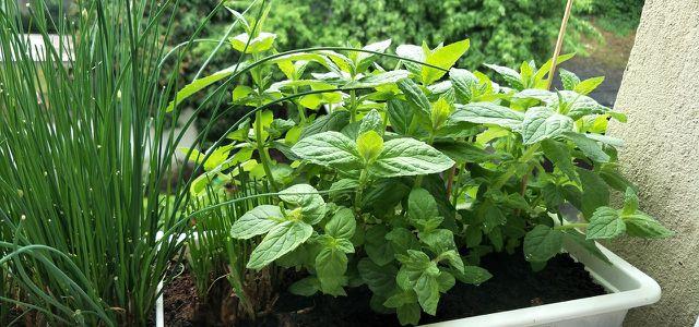 Pfefferminze Pflanzen Und Pflegen Im Garten Oder Auf Dem Balkon