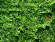 Algae-based bioplastics
