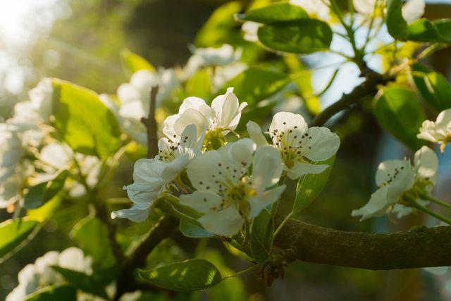 Beim Birnbaum-Schneiden solltest du dich besonders auf dicht wachsende Triebe und alte Äste konzentrieren.
