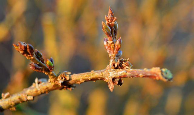 Möchtest du deine Forsythie mit Steckholz vermehren, dann schneide ein 15 Zentimeter langes Stück schräg ab.