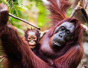 Orang-Utans, Affen, Artensterben, Biodiversität, Industrien