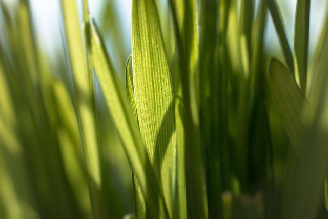 Weizengraspulver wird aus den jungen Gräsern der Weizenpflanze hergestellt.