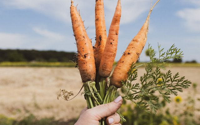 How to store carrots you harvested yourself