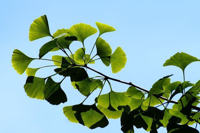 In der traditionellen asiatischen Medizin wird Ginkgo schon lange verwendet.