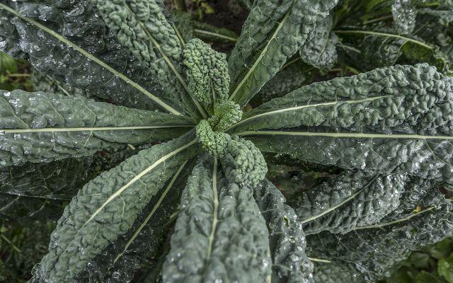 Palmkohl benötigt einen nährstoffreichen Boden.