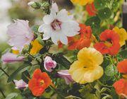 Edible flowers guide nasturtium garden flower bed