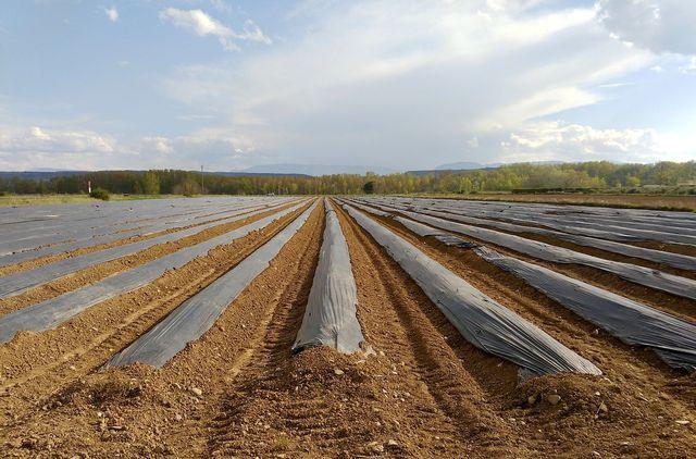 Spargel wird oft unter schwarzen Plastikfolien angebaut.
