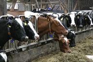 Nicht in allen Ställen können sich Rinder frei bewegen.