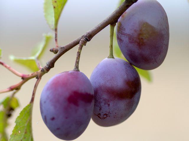 Um Pflaumen einzufrieren, verwende nur unversehrte, feste Früchte.