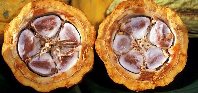 Kakao-Bohnen in Kakao-Schoten
