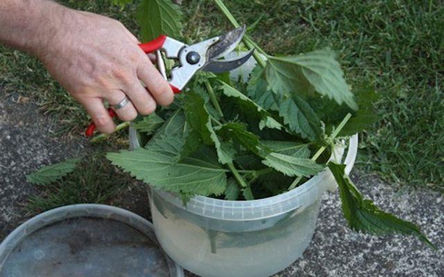 Stinging nettle homemade weed killer