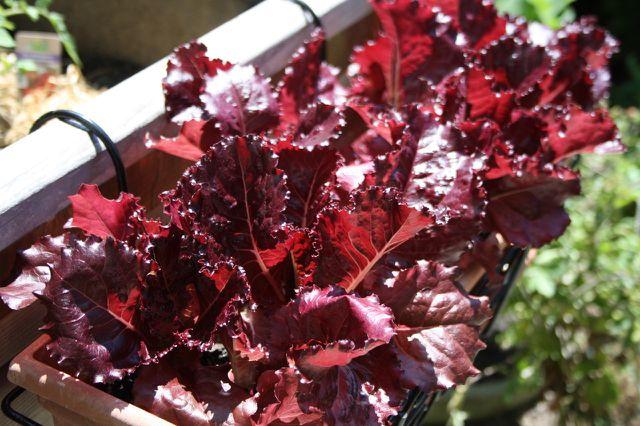 Salat gedeiht sehr gut im Balkonkasten.