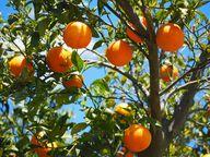 Orangen legen einen weiten Weg zurück