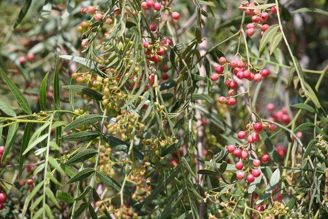 Pfeffer wird in tropischen Ländern angebaut und beinhaltet Piperin.