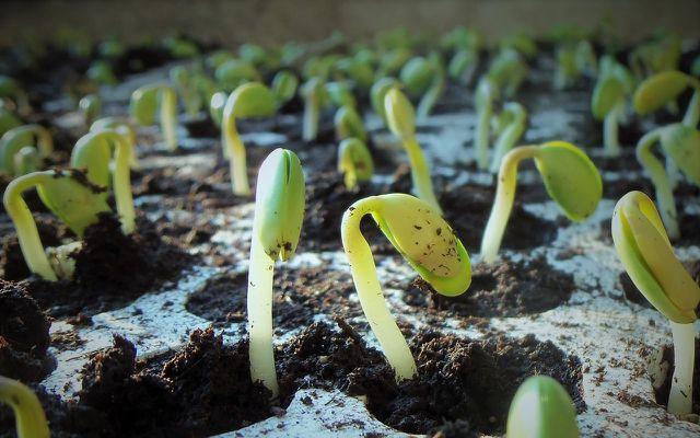 Spouting Soy plants edamame beans